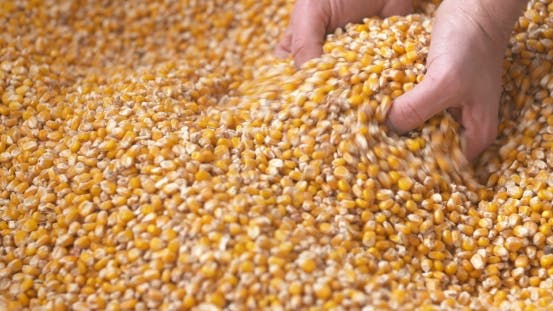 Thumbnail for Corn Grains Falling Down in Corn Sack Form Farmer's Hand.
