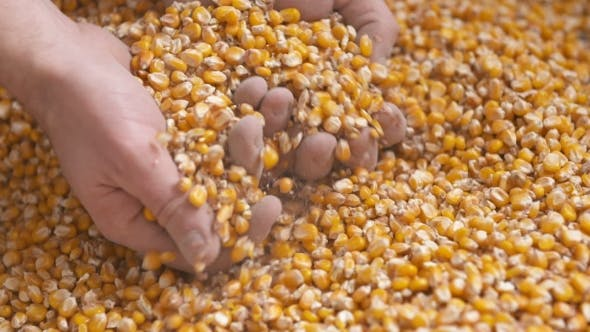 Cover Image for Freshly Harvested Corn Grains. Agriculture Background, Corn Harvesting
