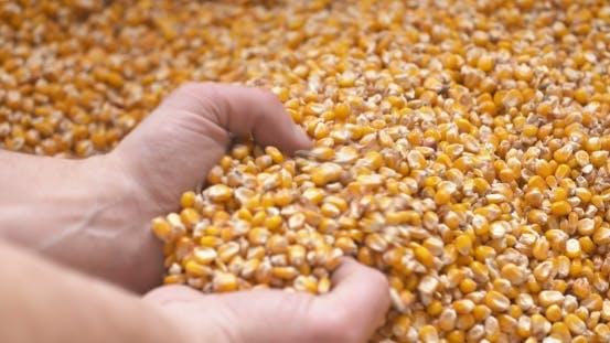 Thumbnail for Maiskörner in Farmer Hands