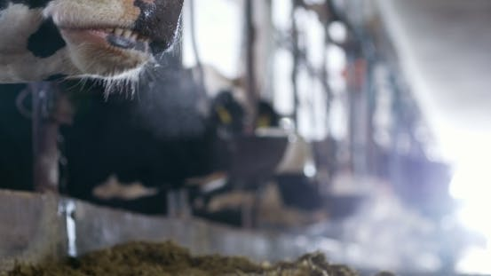 Thumbnail for Cow Eating Hay in Farm Barn Agriculture. Dairy Cows in Agricultural Farm Stable.