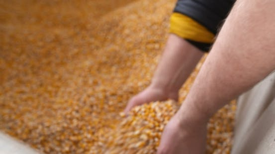 Thumbnail for Agricultural Maize Corn Grains