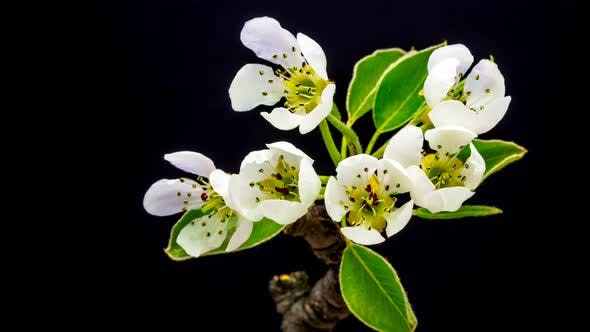 Cover Image for Pear Flower Blossoming 4