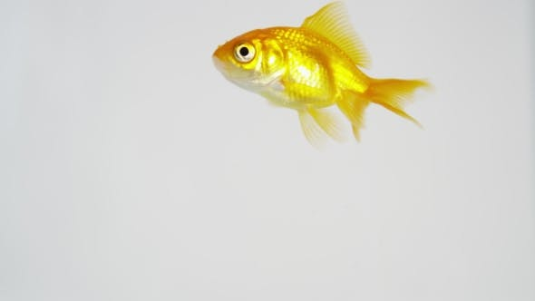 Goldfish on the Move