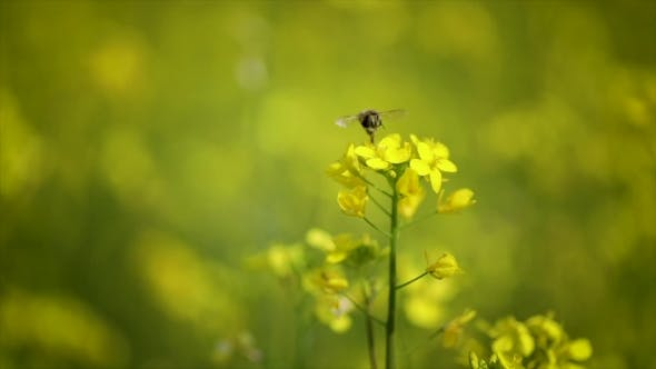 Cover Image for Bee Collects Nectar From Mustard Rapeseed Flower .