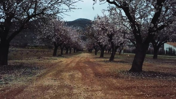 Cover Image for Almond Blossom in the Province of Alicante in February 2018. Spain