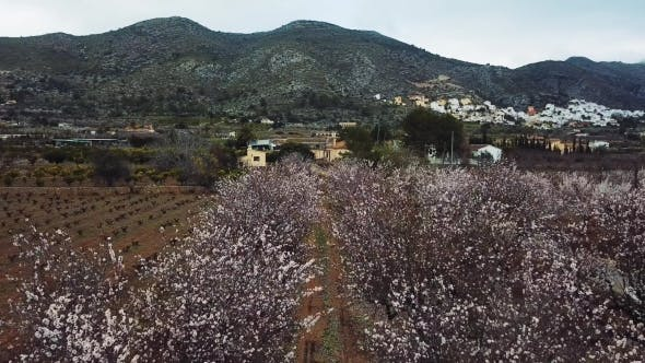 Thumbnail for Almond Blossom in the Province of Alicante