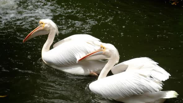 Cover Image for Eastern White Pelicans