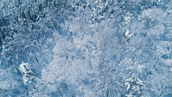 Snowy Branches in Forest
