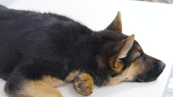 Dark Dog Lying and Waiting for Veterinary Doctor in Clinic