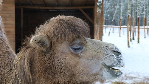 Camel on a Winter Background