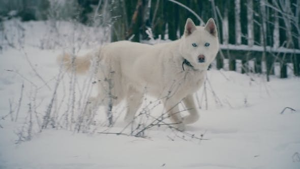 Thumbnail for Yellow-haired Husky Breed Dog