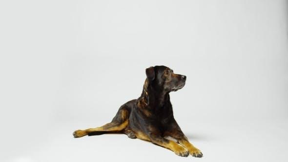 Alert Dog in Studio