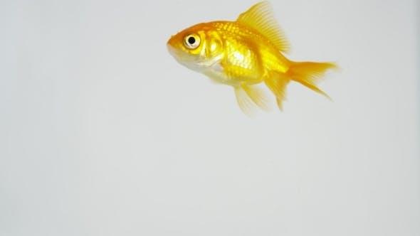Goldfisch unterwegs