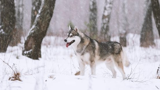 Young Siberian Husky Dog Running Outdoor In Winter Snowy Forest