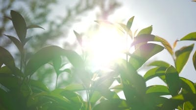 Sunshine Through the Young Trees