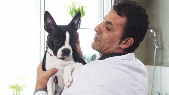 Cute Boston Terrier Canine in the Hands of a Male Vet
