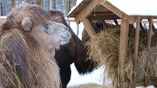 Camels at The Feeder Eating Hay