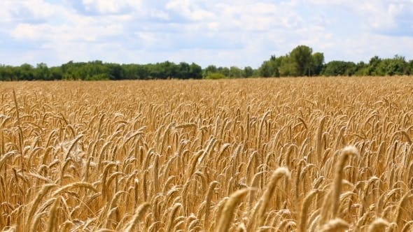 Thumbnail for Wheat Field  Video