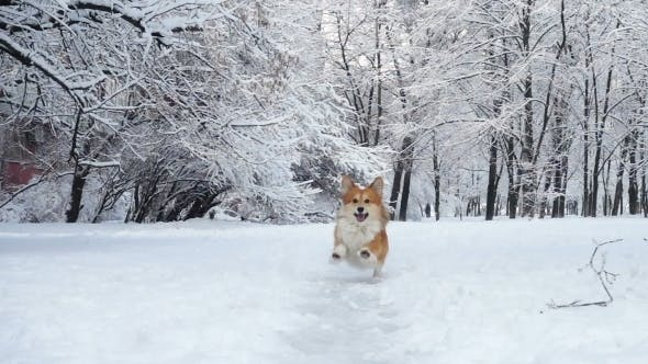 Thumbnail for Little Funny Corgi Fluffy Puppy Walking Outdoors at the Winter Day
