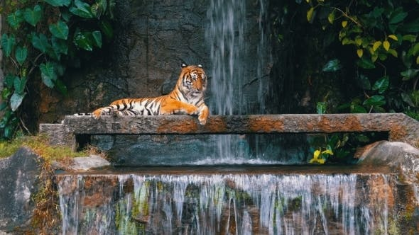 Thumbnail for The Tiger Lies on the Rock Near the Waterfall