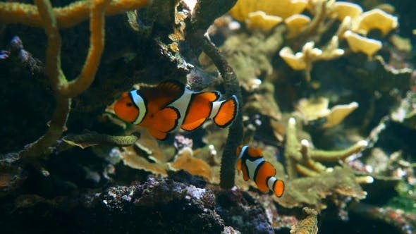 Thumbnail for Ocellaris Clownfish in Tank