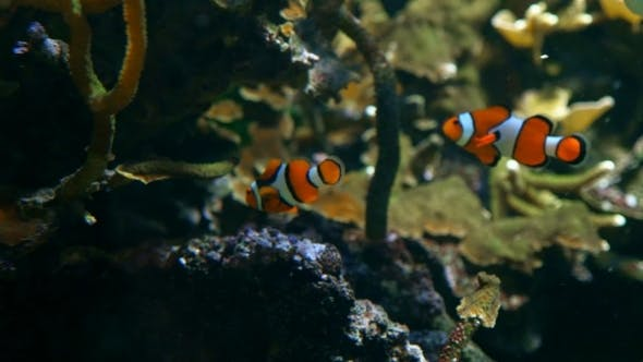 Cover Image for Two Clownfish