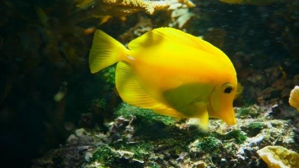 Thumbnail for Swimming Yellow Tang