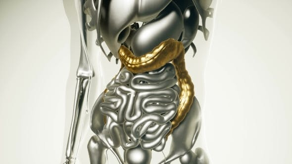 Thumbnail for Human Colon Model with All Organs