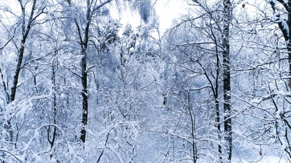Thumbnail for Snowy Branches in Forest. Winter Fairy Background