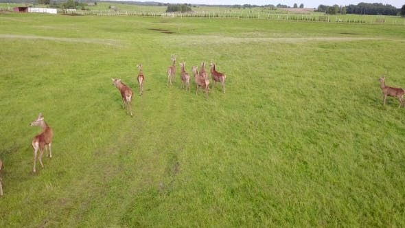 Cover Image for Aerial View of Deer Herd Running on Green Field