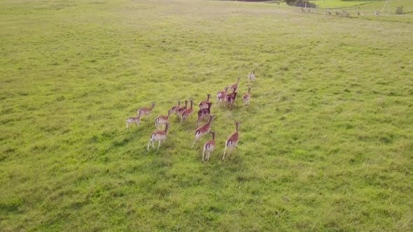 Thumbnail for Group of Deer Playfully Runs to Catch up with the Rest of the Herd