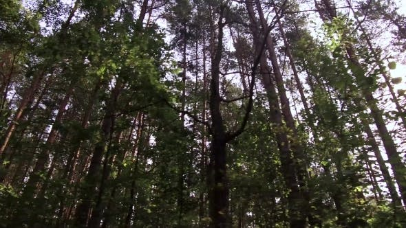 Thumbnail for View From the Bottom Into the Tops of the Trees in the Forest