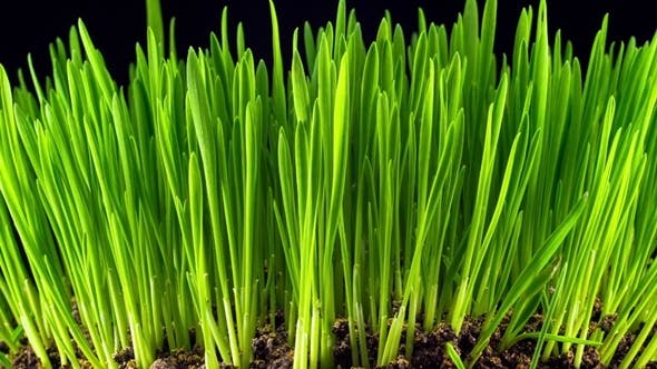 Thumbnail for Growth of Fresh New Green Grass
