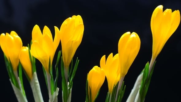 Thumbnail for of Crocus Flower Blooming on Black and Blue Background