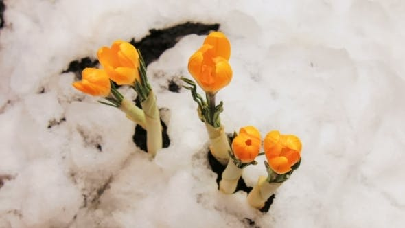 of Crocus Flower Blooming Growing From Snow