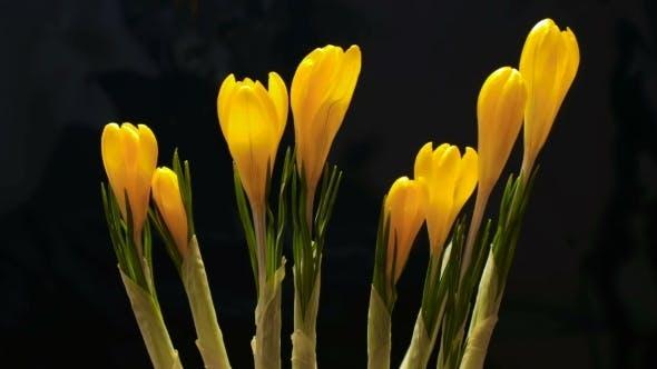 Thumbnail for Crocus Flower Blooming on Black Background