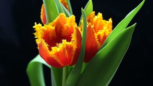 Thumbnail for Tulip Flower Blooming on Black and Blue Background