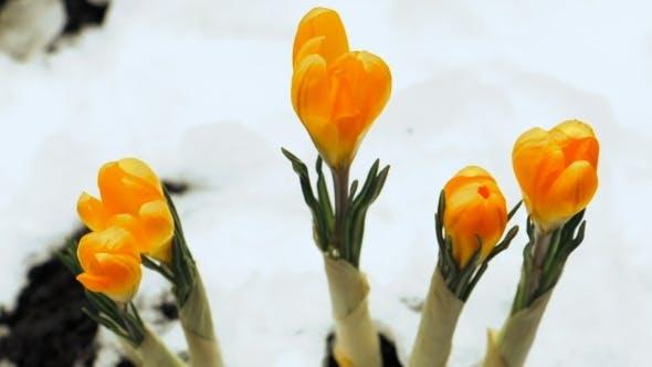 Crocus Flower Blooming Growing From Snow