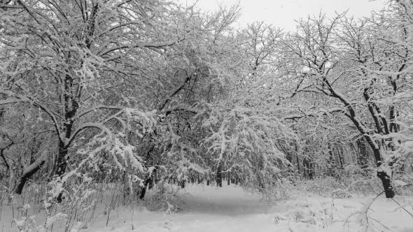 Thumbnail for Heavy Snow Falling in a Forest in Winter Time