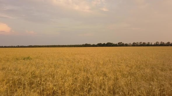Thumbnail for Flight Over the Wheat Field