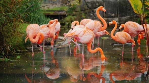 Thumbnail for A Flock of Pink American Flamingos Grazing in the Water