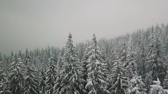 Snowy Spruce Forest in Winter Mountain Forest in Winter Whit Faling Snow