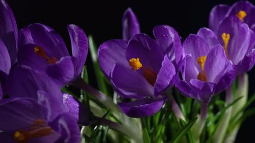 Flowers of Saffron Blooming on Blue Background