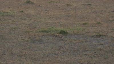 Hyena in the savanna