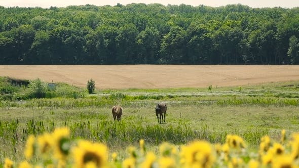 Thumbnail for Sunflowers And Horses On Meadow