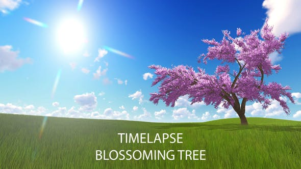 Cherry Blossoming Timelapse
