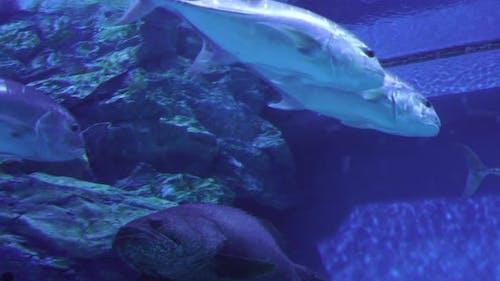 Bigeye Trevally (caranx sexfasciatus) in water
