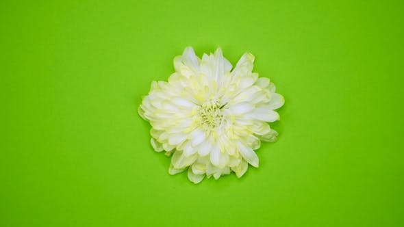 Thumbnail for A Flower Are Rotating on a Green Background