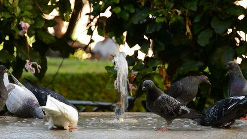 Pigeons or Doves in a Water Font