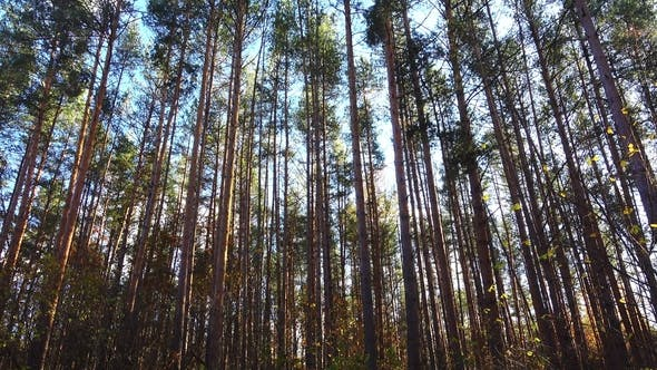 Thumbnail for Beautiful High Pines on a Wind in Forest